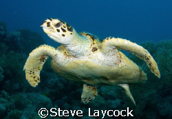 Hawksbill turtle, following the camera :-) by Steve Laycock 
